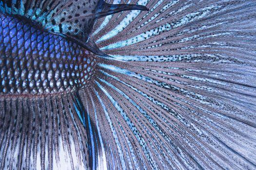 betta tail fish abstract