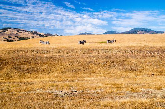 Three Zebra grazing on California coast grasslands