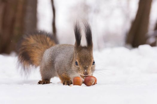 The photo shows a squirrel with a nut. Squirrel sits and eats a nut.