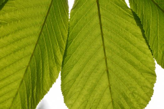 Translucent horse chestnut textured green leaves close up in bac