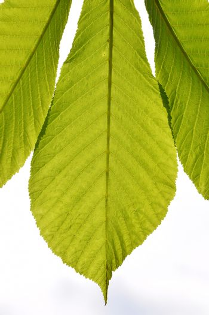 Horse chestnut translucent green leave in back lighting on white
