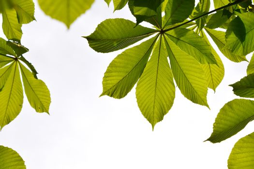 Frame of translucent horse chestnut textured green leaves in bac
