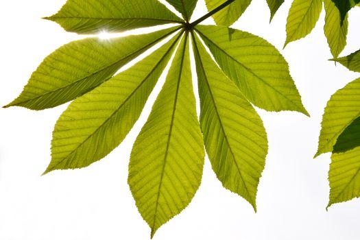 Translucent horse chestnut textured green leaves in back lightin