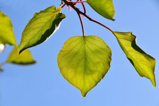 Shiny vivid translucent apricot tree leaves on bright blue sky b
