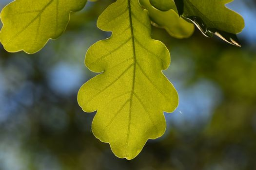Shiny vivid translucent oak tree leaf on blue sky and green back