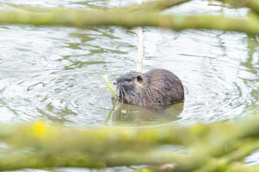 The Nutria (Myocastor coypus) also Coypu, water rat, coypu, nutria, beaver tail or tail of rat called.