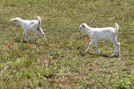 free lambs born just grazing