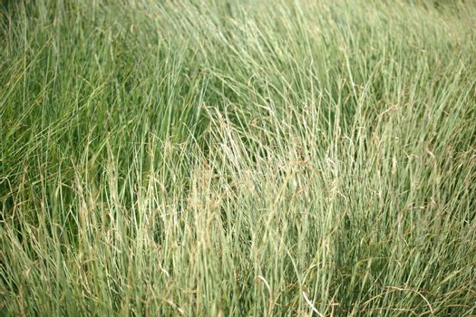 The close-up of sweet grass stalks in the wind.