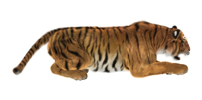 3D digital render of a tiger hunting isolated on white background