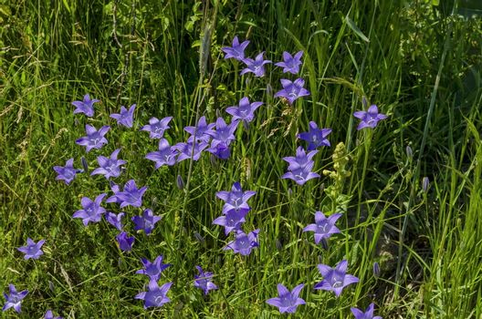 Delicate purple wildflower harebell (Campanula patula) on meadow, Plana mountain, Bulgaria