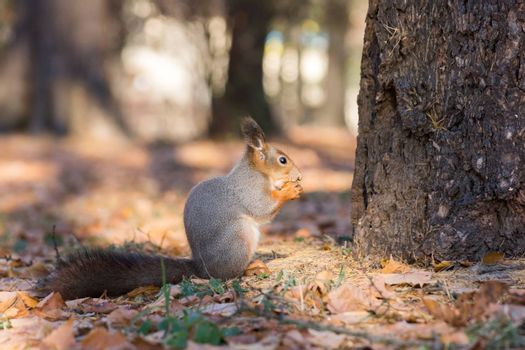 The photograph shows a squirrel in autumn leaves