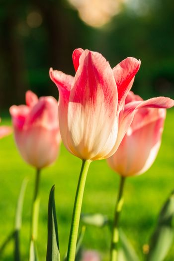 The photo shows flowers tulips