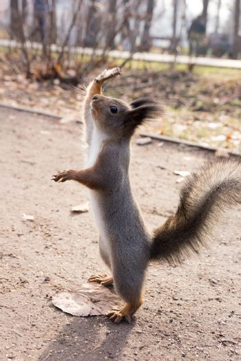 squirrel standing on his hind legs and pulls paw up