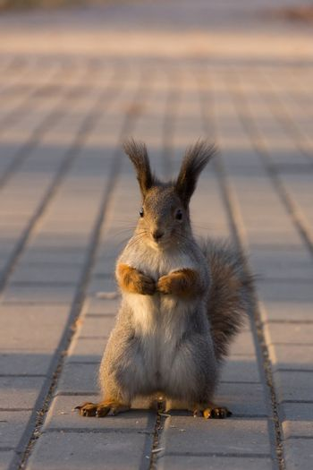 Squirrel sits on the tarmac waiting for nuts.