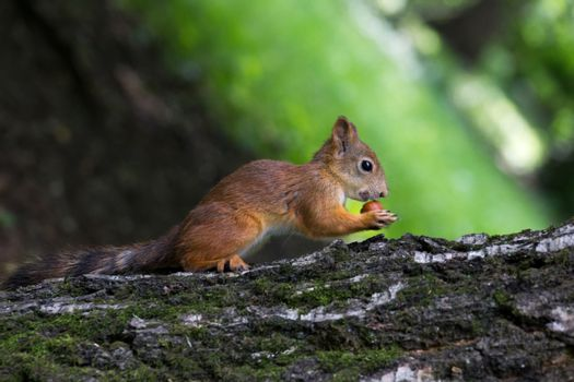 The photo shows a squirrel that sits and waits nut.