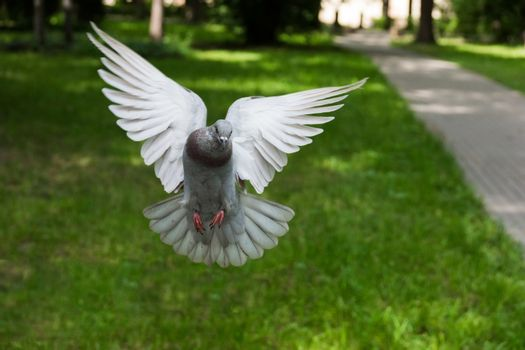 The picture shows the bird dove in flight.