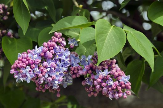 Beautiful bouquet of lilac flowers, South park