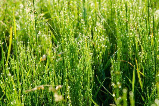 Meadow grass with dew droplets