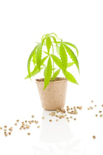Cannabis plant and seeds.