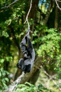 Gibbon hanging on tree branch
