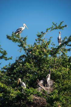 Asian openbil stork, Anastomus oscitans
