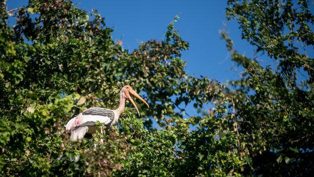 Asian openbil stork