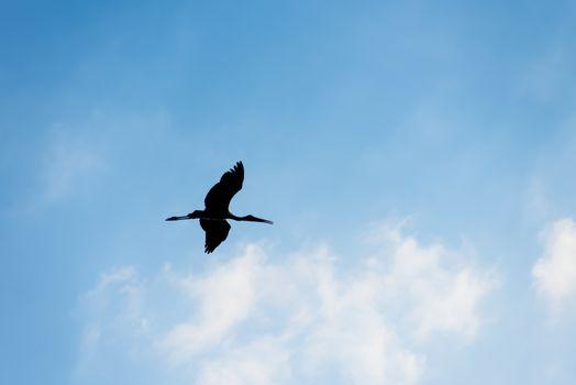 Silhouette of bird flying, Open-billed stork