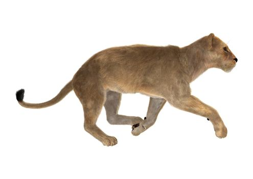 3D digital render of a female lion running isolated on white background