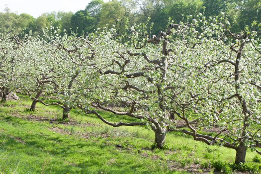 Blossoming apple orchard in spring time with flowers on the trees.