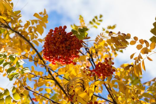 The photo shows the leaves and berries of mountain ash
