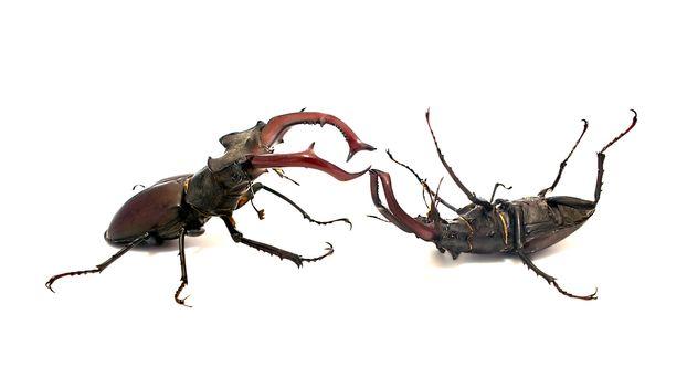 Fighting stag beetles