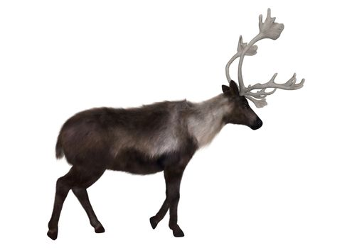 3D digital render of a caribou walking isolated on white background