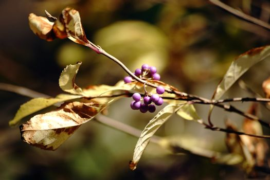 The ripe purple berries and grape-like fruit bunch of the Callicarpa Japonica.