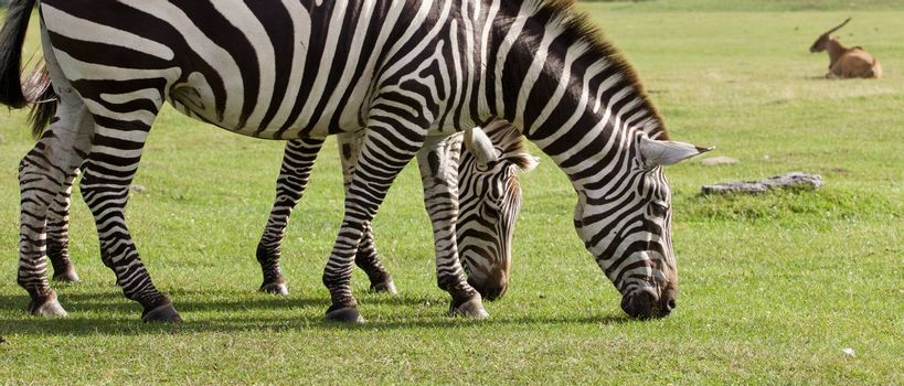 Two beautiful zebras on the grass field background