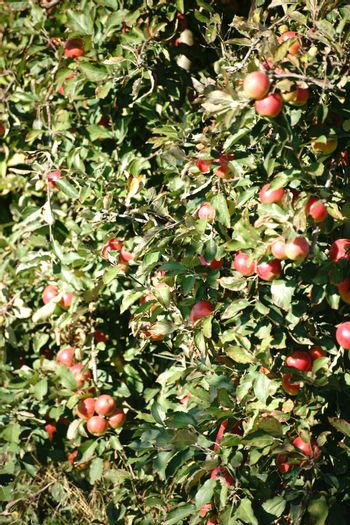 The closeup of an apple tree on an apple tree plantation filled with apples.