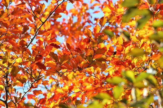 Colourful Beech Leaves In The Fall.