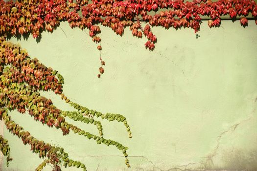The tendrils and branches of the vine plant with red and green leaves in autumn on a cracked wall.