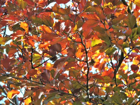 Beech Leaves In The Fall.