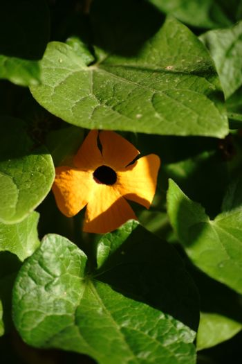 The yellow flower of a black-eyed Susan vine tucked between green leaves.