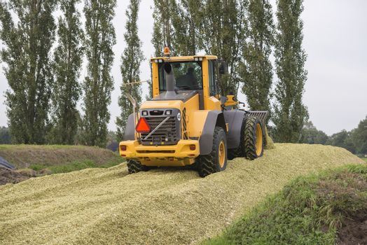Agriculture shredded corn silage with a yellow shovel in the Netherlands