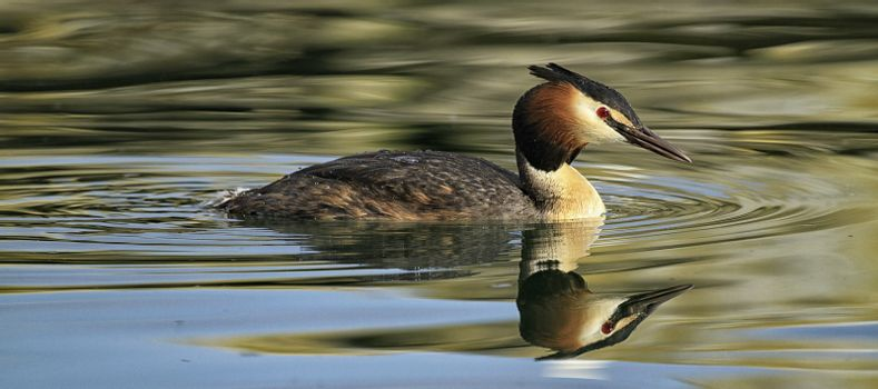 magnificent great crested grebe on the water