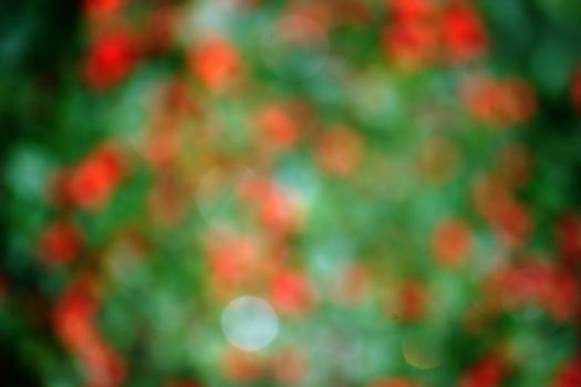 The blur and abstract closeup of red berries of a bush in the autumn.