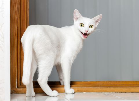 Funny evil white cat with open mouth
