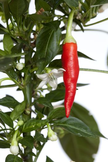 young seedling of chili pepper on white background