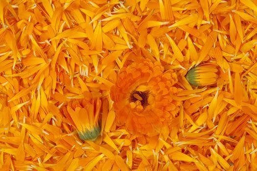 fresh petal marigold(Calendula officinalis) as background
