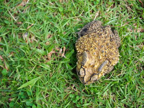 green toad on the grass field