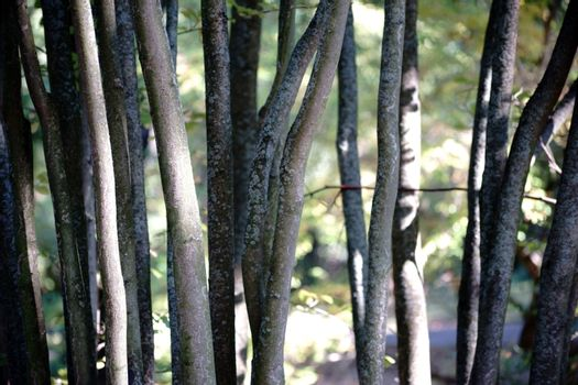 The close-up of thin and parallel stationary trunks of a Parrotiopsis jacquemontiana.