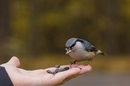 The photo shows a bird nuthatch eats seeds from the hand.