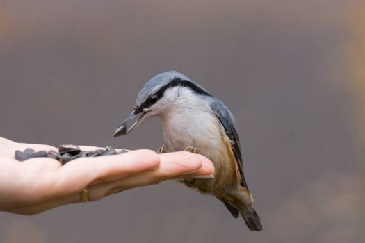 The photo shows a bird nuthatch eats seeds from the hand