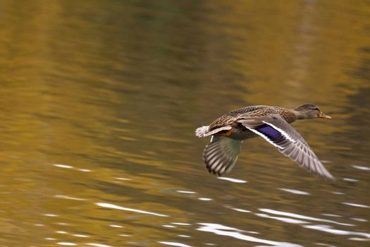 The photo shows a duck shot in flight over the pond
